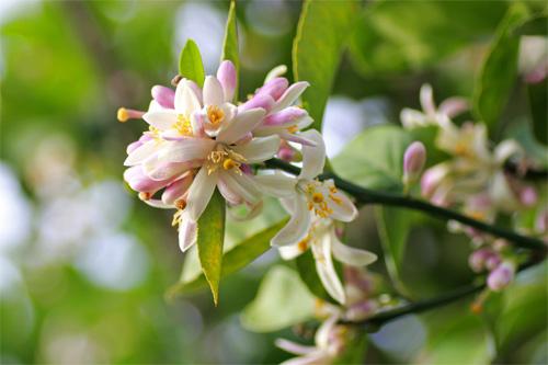Hoa chanh