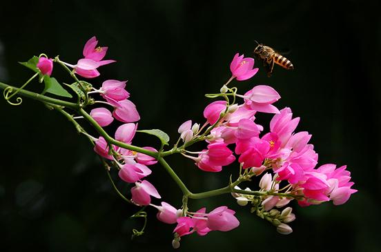 Hai sắc hoa tigôn