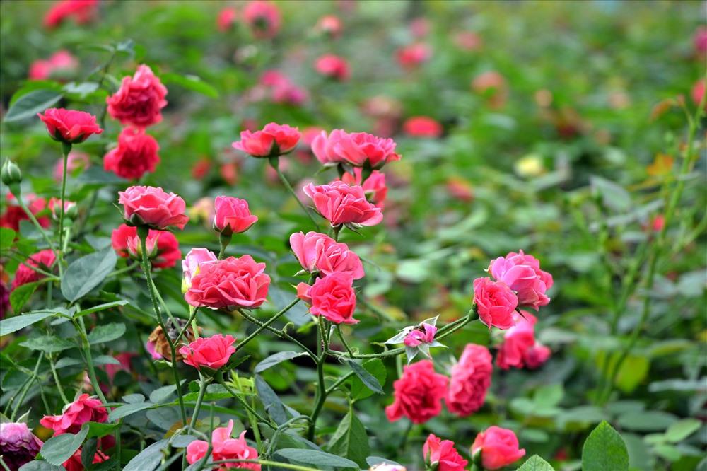 Sáng nay hồng vẫn nở