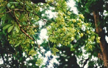 Những loài hoa gợi nhớ mùa thu Hà Nội